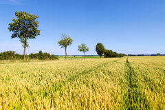 Golden fields and green trees Stock Photography