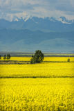 Golden fields of snow-capped mountains Stock Image