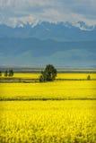 Golden fields of snow-capped mountains. China Xinjiang Tianshan below, golden fields canola flower in full bloom Stock Image