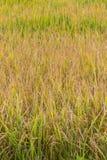 Golden fields in summer Stock Photos