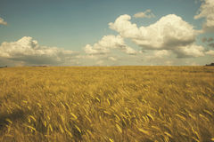 Golden fields stock image
