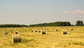 Golden hay fields. Golden fields of Tatarstan with hay summer day stock images