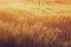 Golden fields Royalty Free Stock Photography