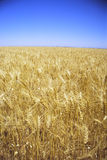 Golden Fields of Wheat. An Australian wheat field, photographed during the peak of the season Royalty Free Stock Image