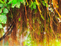 Golden Fig, Weeping Fig, or Ficus tree Royalty Free Stock Photography