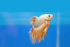 Golden fighting fish, betta splendens Royalty Free Stock Image