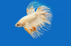 Golden fighting fish, betta splendens Stock Images