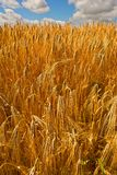 Golden filed of corn and wheat Stock Images