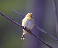 Golden Finch Royalty Free Stock Images