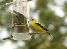 Golden Finch. A golden finch perched at a bird feeder stock photography