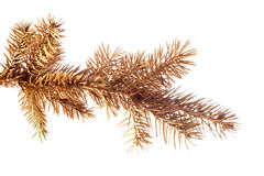 Golden fir twig. Stock Images