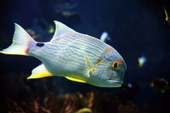 Golden fish. In the sea in the coast of Spain Stock Photo
