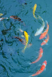 Golden fish. In blue water Royalty Free Stock Images