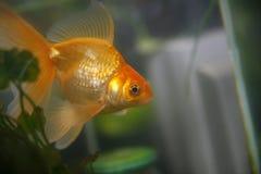 Golden fish. In 60 litre aquarium Stock Photography
