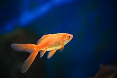 Golden fish 2 Stock Photography