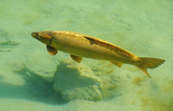 Golden fish. Golden carp fish swim in placid lake Royalty Free Stock Photos