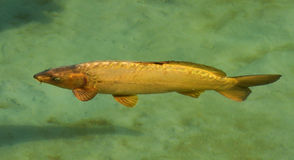 Golden fish. Golden carp fish in placid water Royalty Free Stock Photography