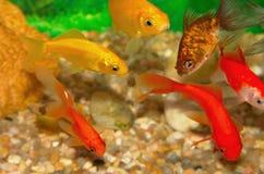 Golden fish. Golden gold fish in aquarium Stock Image