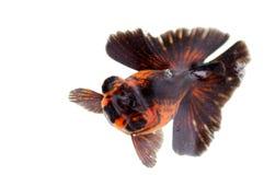 Golden fish Stock Photography