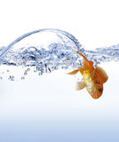 Golden fish. Jump from water Royalty Free Stock Photo