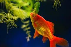 Golden fish Royalty Free Stock Image