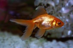 Golden fish. Fish in aquarium Royalty Free Stock Image