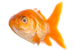 Golden fish Stock Photos