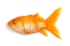 Golden fish Royalty Free Stock Images