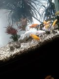 Golden Fish in acvarium stock photos