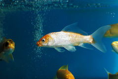 The golden fish in aquarium Royalty Free Stock Photos