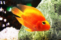 Golden fish in aquarium royalty free stock photography