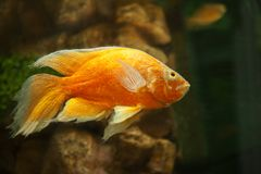 Golden fish in aquarium Royalty Free Stock Images