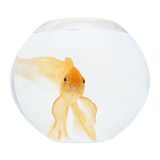 A golden fish in aquarium Royalty Free Stock Photos