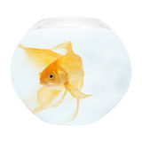 A golden fish in aquarium royalty free stock image