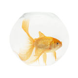 A golden fish in aquarium Stock Images