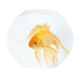 A golden fish in aquarium Stock Photography