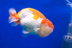 Golden fish Royalty Free Stock Photography