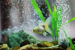 Golden fish in aquarium or fishbowl. For home decoration Stock Photography
