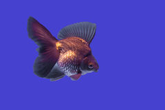 Golden fish Royalty Free Stock Photos