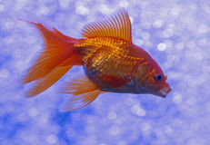 Golden fish. Close up of golden fish in aquarium Royalty Free Stock Image