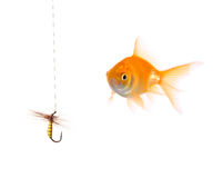 Golden fish and a fishing bait. Isolated on white Stock Photos