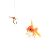 Golden fish and a fishing hook. Isolated on white stock photography