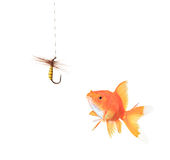 Golden fish and a fishing hook. Isolated on white royalty free stock photos