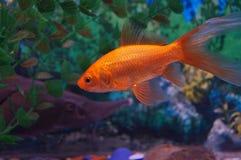 Golden fish. At the fish tank Stock Photography