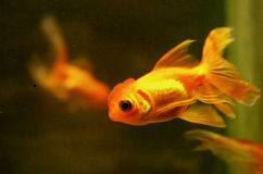 Golden fish. And its reflection in  the aquarium Stock Image