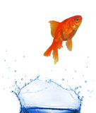 GOlden fish jumping. Studio photo of isolated jumping fish royalty free stock images