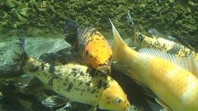 Golden fish stock footage