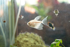 Golden fish swimming in aquarium Royalty Free Stock Images
