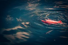 Golden fish swimming in a pond or lake stock images