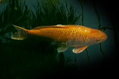 Golden fish swimming in a pond Stock Images